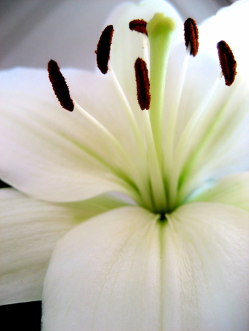 Lily_color