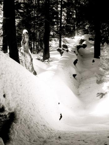 Sequoia_fallen