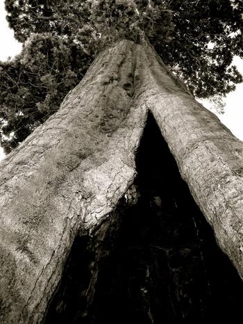 Sequoia_looking_up